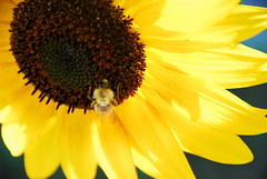 Study of Image (petrk747) Tags: flowers flower nature yellow insect flora yellowflower sunflower saariysqualitypictures