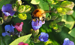 Bee (littlestschnauzer) Tags: pink flowers blue england plants macro nature petals spring wildlife bees yorkshire natur insects bee busy april flowering pulmonaria emley 2015