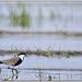 1301 Eth. Oiseaux 6057