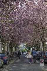 Bonn-Kirschbluete-4 (kurvenalbn) Tags: deutschland bonn pflanzen blumen nordrheinwestfalen frhling kirschbluete