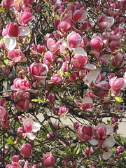 Les magnolias du Jardin Wallenstein (ou jardin du Snat) - Mala Strana - Prague - Printemps 2015 (jeanyvesriou1) Tags: garden prague jardin praha magnolias malastrana jardinwallenstein jardindusnat