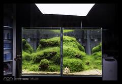 Green Aqua Showroom (viktorlantos) Tags: aquarium aquariumplants aquascape plantedtank plantedaquarium dragonstone aquascaping aquadesignamano hemianthuscuba adahungary greenaquagallery aquascapingshopbudapest greenaquahungary nvnyesakvrium