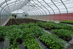 Tomato plants in TC3 Farm Greenhouse (ed dittenhoefer photo) Tags: houses plants hoop tomato greenhouse coltivare tc3barn
