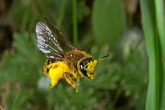 Rolf_Nagel-Fl-8658-Apidae (Insektenflug) Tags: fauna insect sweden schweden bee sverige insekt biene land hymenoptera apidae hautflgler
