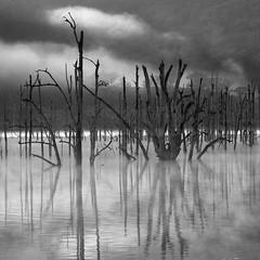 Windamere Skeletons (Colin_Bates) Tags: morning trees lake west fog dead dam central nsw windamere