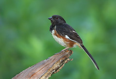 Eastern Towhee (sspike@rogers.com) Tags: eastern towhee sparrow ontario canon 7d2 800mm steverossi