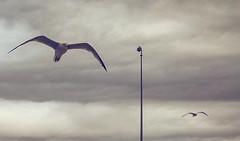 IMG_7575 (FranFerrandis) Tags: shotoniphone6s sky clouds cloud cloudysky bluesky bird birds seagulls seagull gaviotas volando flying sea seafront water valencia spain