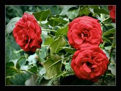 Rosenliebhaber (karin_b1966) Tags: blume flower blte blossom pflanze plant garten garden natur nature 2016 rosenstmmchenrosebalmoral yourbestoftoday