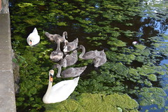 Sutton Park. Swans with their Cygnets. (Anne & David (Use Albums)) Tags: suttonpark englishcountryside suttoncoalfield swans