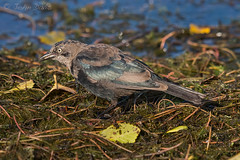 Brewer's Blackbird 20160801_3831 (GORGEous nature) Tags: brewersblackbird euphaguscyanocephalus icteridae skamaniaco skamaniacofairgrounds stevenson summer vertebrates washington bird crgnsa mollting water august johndavis