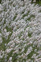 IMG_7806 (ElsSchepers) Tags: limburglavendel lavendelhoeve stokrooie kuringen hasselt natuur vlinders