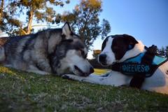 DSC_0042-1 (ScootaCoota Photography) Tags: dog pet animal border collie labrador park play outdoors nature malamute