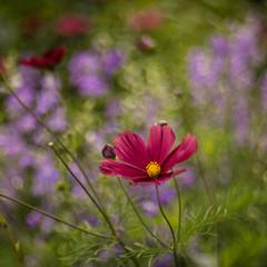 Cosmos (tonybill) Tags: flowers gardens bokeh july surrey miscellaneous wisley rhswisley rhs sonya7 meyeroptikgorlitztrioplan28100