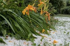 Vom Hagel zerschlagene Lilien - Lilies damaged by the hailstorm (riesebusch) Tags: berlin garten marzahn