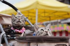 cat #1371 (K-nekoTR) Tags:  cat americanshorthair beautiful cute kitty pretty pet animal japan japanese sony