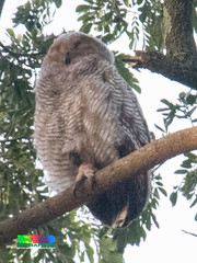 Spotted Wood Owl (Strix seloputo) (wildsingapore) Tags: strix seloputo bird aves wildsingapore singapore