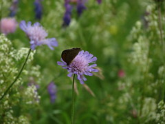 IMG_8135 (germancute) Tags: summer plant flower nature butterfly outdoor sommer pflanze meadow wiese blume wildflower schmetterling