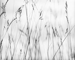 resilient (itawtitaw) Tags: 120 180mm abstract analog bw blackwhite bright c41caffenol contrast diy epson film focus fröttmaningerheide hp5 ilford lines mamiya mediumformat minimalist nature outside rz67pro scan schwarzweiss sekorz180mm45w sky summer sw tranquility v700 white grass