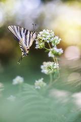 Chupaleches (too15) Tags: naturaleza insectos macro nikon bokeh butterflies galicia tamron mariposas ourense valdeorras iphiclidespodalirius podalirio