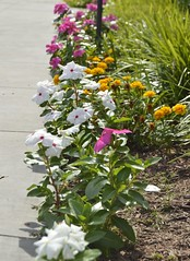 The Volunteers (mslabrat13) Tags: pink flowers white yellow blossoms blooms marigolds vinca annuals