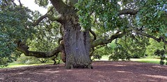 "153 Year Old ""Lucombe Oak"" (standhisround) Tags: uk trees kewgardens tree london nature kew garden ancient hybrid oaktree royalbotanicalgardens lucombeoak"