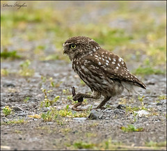 Little Owl with Dinner. (hughesy501) Tags: little owl nature