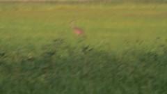 Sandhill Cranes (Arlen Breiholz) Tags: usa birds animals wildlife places iowa cameras 100400mm sandhillcranes jacksoncounty eos7d greenislandwma