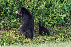 DSC_2291 (CEGPhotography) Tags: skylinedrive shenandoah shenandoahvalley national park bear blackbear cub