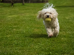 Dog playing fetch (benni_schuetzenhofer) Tags: dog dogs animal animals mammal mammals pet pets fetch garden playing white green tennis tennisball ball sporty running