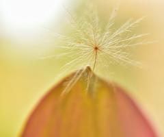 Dandelion Seed stuck on Lily (Don Briggs) Tags: helios44m458mmlensreversedformacrouse nikond750 donbriggs dandelionseedmacro funkylens silkybokeh