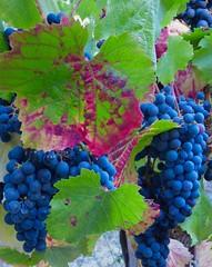 Malbec (outdoorPDK) Tags: napaharvest grapes vines