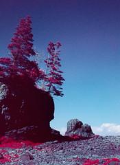 Strange World (Markus Jork) Tags: leica m3 summicron 50mm fpp infrared aerochrome film colorir slide rock tree lowtide