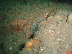 CEFASG 4 (bloomspix) Tags: seasearch underwater englishchannel swanage