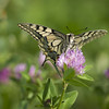 Bec sucré **--- °° (Titole) Tags: machaon papiliomachaon titole nicolefaton clover trèfle papillon butterfly swallowtail squareformat friendlychallenges thechallengefactory herowinner