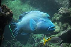 Napoleon-Lippfisch im Ocanopolis Brest (Ulli J.) Tags: zoo aquarium akvarium frankreich france frankrig frankrijk bretagne finistre brest ocanopolis napoleonlippfisch napoleonfisch riesenlippfisch humpheadwrasse moriwrasse napoleonwrass napoleonfish napolon labregant napoleonvis