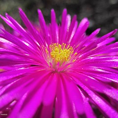 Hardy ice plant (Swallowtail Garden Seeds) Tags: iceplant delosperma flower flowers pink purple macro stamens yellow petalis fuchsia perennial hardy closeup petals plant bright vivid