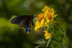 41st St. 'Fly Three (brev99) Tags: butterfly highqualityanimals insect wings yellowflowers summerblossoms d7100 tamron70300vc nature riverwalk tulsa nikviveza nikoutputsharpener greenbackground bokeh