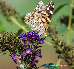 Painted Lady (Lindell Dillon) Tags: butterfly paintedlady lepidoptera insect brushfoot nature oklahoma lindelldillon