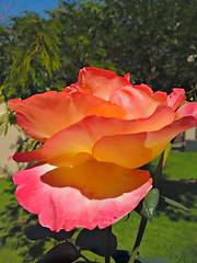 20160910_120826_HDR (Rodrigo Ribeiro) Tags: nature natureza flower flores flor garden gardening jardim jardinagem backyard