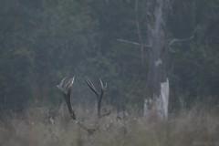 Korona krla...  Jele szlachetny ( Cervus elaphus ) Red deer (Fotografia przyrodnicza - moje hobby. Zapraszam...) Tags: jele szlachetny cervus elaphus red deer byk byki bieszczady rykowisko 2016 wrzesie gody jeleni jelenie anie ania poroe korona las lasy nature wild nikon d7100 tamron 150600 vc triopo gt bies czady fotografia przyrodnicza ukasz drobot przyroda ubr ubry jesie bieszczadzki park narodowy poranek mga
