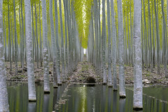 Tree Farm (Curtis Gregory Perry) Tags: tree farm poplar water reflection forest woods nature paper oregon nikon d800e boardman