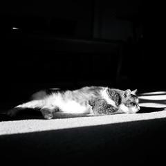 Roger sleeping in the sun (aaronvandorn) Tags: ohio blackandwhite cats tlr monkey roger twinlensreflex fujiacros minoltaautocord thornvilleohio rokkor75mmf35