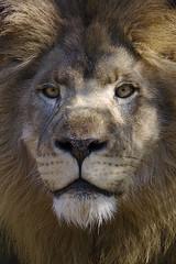 Do I look like prey? (ucumari photography) Tags: male sc animal mammal south lion columbia carolina april riverbankszoo 2015 leoleo specanimal ucumariphotography dsc1061