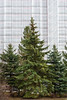 Shallow Nature (pni) Tags: tree suomi finland scaffolding helsingfors spruce tarpaulin skrubu greass pni pekkanikrus