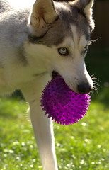 Take it if you dare!! (peter_evans45) Tags: ball mouth garden fun husky play purple sunny round spikey lotty