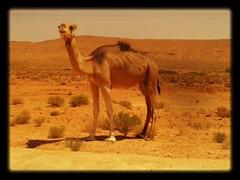 Camel near Hammam Warqa, Algeria 2014 (maykal) Tags: algeria desert camel algerie deve argelia chameau   cezayir