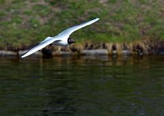 Black-headed gull (Terje Hheim (thaheim)) Tags: bird nikon gull blackheadedgull 70200mmf28gvr hettemke d7100 nikond7100 nikond71002