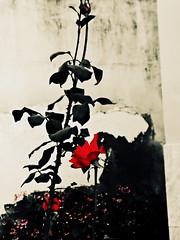 Rose - Black and Red (biaah_paulla) Tags: brazil flores planta nature beautiful brasil photography flickr sony natureza flor igreja bahia beleza gentiodoouro