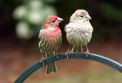 Romance (ChicaD58) Tags: spring backyard romance maleandfemale housefinches 163a platinumheartaward