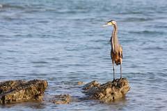 IMG_7033 (mbatalla82) Tags: birds animals favorites mayo jpg img herons guanacaste 2015 tigerheron 7033 favbirds guanacastemayo2015img7033jpg